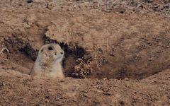 "Just another day on the plains: A prairie dog sits in its new burrow talking to its friends from afar. ""They have a very complex social system. They're very loving, very cool,"" relocation specialist Sandy Nervig said."