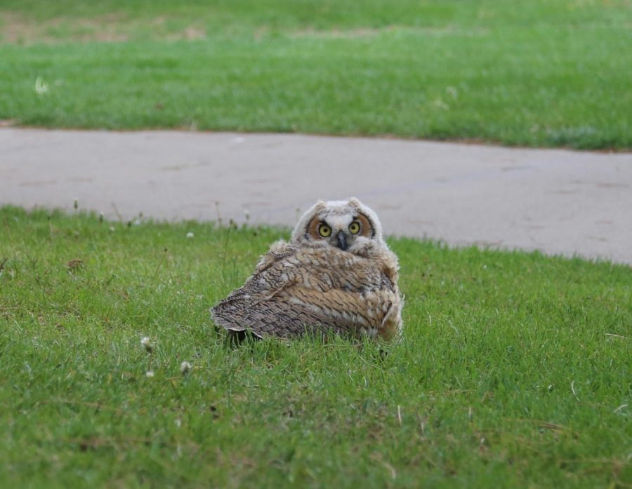 One of two young owlets sighted today on the lawn between East and Fine Arts stares at onlookers and the photographer. A third owlet was also reported in the East Courtyard. These owlets will be moved to safety by professionals. With nearly 360 degrees of motion in the neck, owls can hold eye contact with you even if you