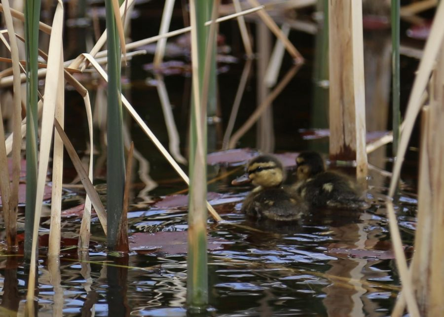 Ducklings+swim+away+from+the+photographer+through+the+reeds+in+West+Courtyard%27s+pond.+Mallard+ducks+have+large+broods+of+ducklings+because+some+of+them+inevitably+fall+prey+to+predators.+At+Creek%2C+staff+like+biology+teacher+Scott+Dawkins+work+to+keep+the+ducklings+safe+as+much+as+they+can.+%22This+year+I+actually+ordered+little+solar+powered+cameras%2C%22+Dawkins+said.+%22I%27d+love+to+keep+track+of+them%2C+it%27s+just+that+sometimes+the+circle+of+life+wins%2C+we%27ll+just+put+it+that+way.%22